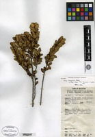 Isotype of Eurya kerigomnica W. R. Barker [family THEACEAE]