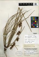 Isotype of Carex papuana Nelmes [family CYPERACEAE]