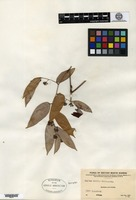 Isotype of Smilax woodii Merrill [family SMILACACEAE]