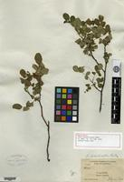 Holotype of Rosa bidenticulata Rydberg [family ROSACEAE]