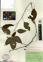 Isotype of Impatiens jurpioides T. Shimizu [family BALSAMINACEAE]