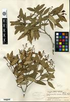 Isotype of Calyptranthes hondurensis Standley [family MYRTACEAE]