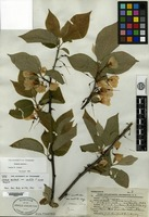Holotype of Halesia monticola (Rehder) Sargent f. rosea Sargent [family STYRACACEAE]