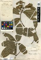 Holotype of Melicope sessiliflora C. T. White [family RUTACEAE]
