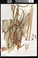 Isotype of Calamus pholidostachys J. Dransfield & W. J. Baker [family ARECACEAE]