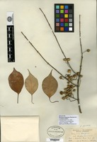 Holotype of Euonymus bungeanus Maximowicz f. pendulus Rehder [family CELASTRACEAE]