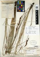 Isotype of Carex acrophila S. T. Blake [family CYPERACEAE]