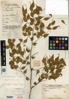 Isotype of Capparis urophylla Chun [family CAPPARACEAE]