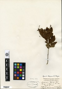 Isotype of Berchemia chanetii H. Léveillé [family RHAMNACEAE]