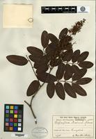 Isotype of Copaifera malmei Harms [family CAESALPINIACEAE]