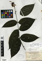 Isotype of Odontonema amicorum V. M. Baum [family ACANTHACEAE]