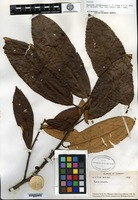 Isotype of Saurauia erythrocarpa C. F. Liang & Y. S. Wang [family ACTINIDIACEAE]