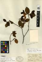 Holotype of Rhododendron apiculatum Rehder & E. H. Wilson [family ERICACEAE]