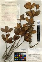 Isotype of Rhododendron luraluense Sleumer [family ERICACEAE]
