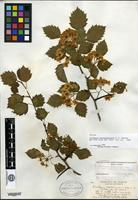 Syntype of Crataegus chateaugayensis Sargent [family ROSACEAE]