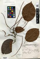 Holotype of Coccoloba steinbachii R. A. Howard [family POLYGONACEAE]