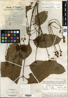 Holotype of Dysoxylum whiteanum Merrill & L. M. Perry [family MELIACEAE]