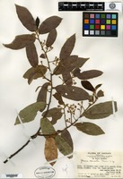 Type of Grewia concolor Merrill [family TILIACEAE]