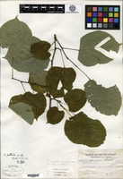 Type of Tilia pallida Bush [family TILIACEAE]