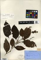 Isotype of Casearia carrii Sleumer [family FLACOURTIACEAE]