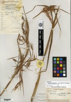 Isotype of Themeda yunnanensis S. L. Chen & T. D. Zhuang [family POACEAE]