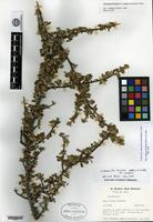 Isotype of Cotoneaster poluninii G. Klotz [family ROSACEAE]