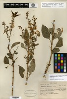 Isotype of Galphimia mexiae C. E. Anderson [family MALPIGHIACEAE]