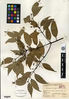 Isotype of Cinnamomum tsangii Merrill [family LAURACEAE]