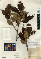 Isotype of Cryptocarya splendens Kostermans [family LAURACEAE]