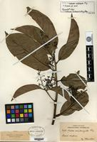 Isotype of Nectandra acutangula Miquel [family LAURACEAE]
