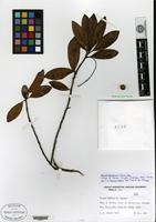 Isotype of Persea shaferi P. Wilson [family LAURACEAE]