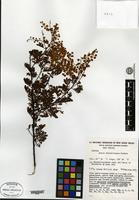 Isotype of Acacia chinchillensis Tindale [family MIMOSACEAE]
