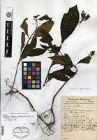 Isotype of Palicourea radicans Standley [family RUBIACEAE]