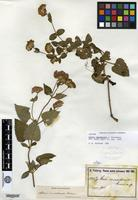 Isotype of Stevia camachensis Hieron. [family ASTERACEAE]