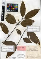Isotype of Cinnamomum halmaheirae Kostermans [family LAURACEAE]