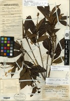 Holotype of Clethra liangii H. L. Li [family CLETHRACEAE]