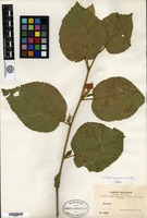 Isotype of Helicteres guanaiensis Rusby [family BYTTNERIACEAE]