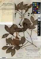 Holotype of Syzygium acmenoides Merrill & L. M. Perry [family MYRTACEAE]