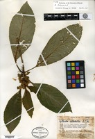 Holotype of Cyrtandra chlorantha A. C. Smith [family GESNERIACEAE]