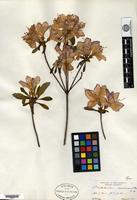 Holotype of Rhododendron coreanum Rehder [family ERICACEAE]