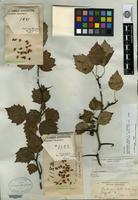Syntype of Crataegus bella Sargent [family ROSACEAE]