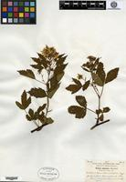 Type of Rubus junceus Blanchard [family ROSACEAE]