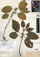 Holotype of Pachysandra stylosa Dunn var. tomentosa H. C. Robbins [family BUXACEAE]
