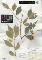 Holotype of Euonymus sargentiana Loesener & Rehder [family CELASTRACEAE]