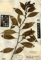 Isotype of Casearia aequilateralis Merrill [family FLACOURTIACEAE]