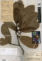 Isotype of Couratari macrosperma A. C. Smith [family LECYTHIDACEAE]