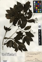 Isotype of Labordia tinifolia A. Gray var. leptantha Sherff [family LOGANIACEAE]