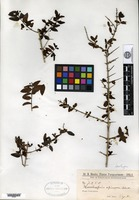 Isotype of Hassleropsis spinosa Chodat [family SCROPHULARIACEAE]