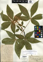 Type of Aesculus mississippiensis Sargent [family HIPPOCASTANACEAE]
