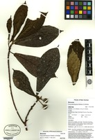 Isotype of Ficus wamanguana Weiblen & Whitfeld [family MORACEAE]